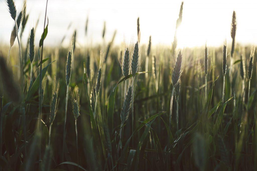 Korn inneholder inneholder plantestivelse. Photo by: Vincent Botta